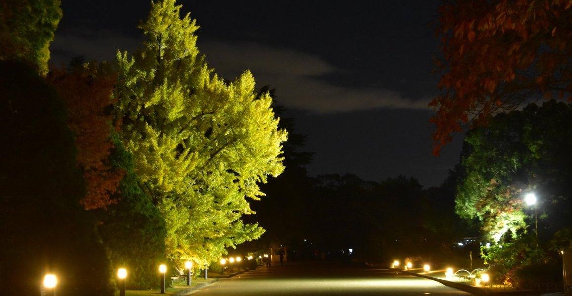 京都府立植物園・イチョウのライトアップ 見頃 2019年11月20日 撮影:MKタクシー