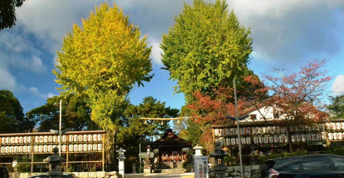 與杼神社のイチョウ 色づきはじめ 2017年11月19日 撮影:MKタクシー