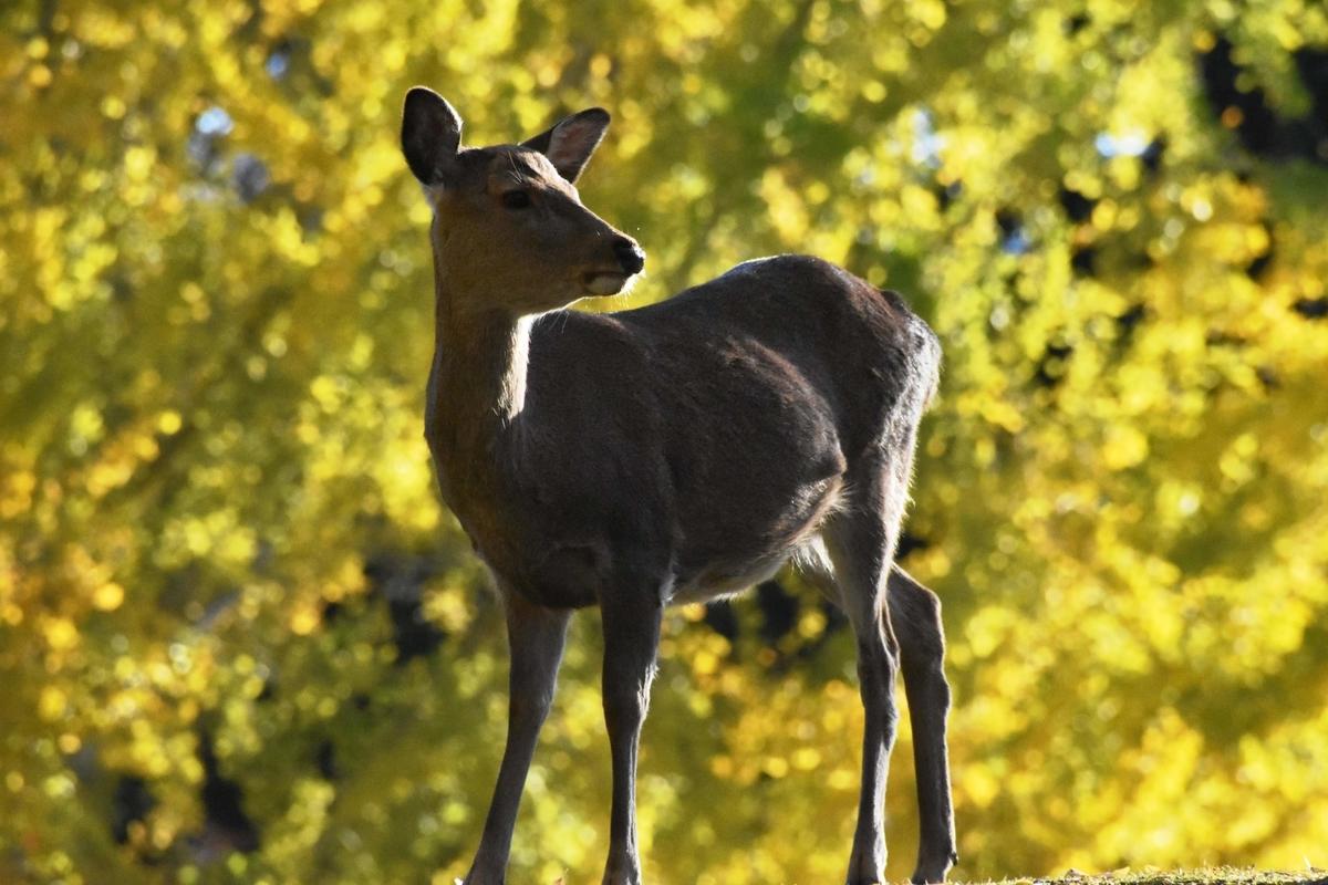 奈良公園のイチョウ 見頃 2018年11月25日 撮影:MKタクシー