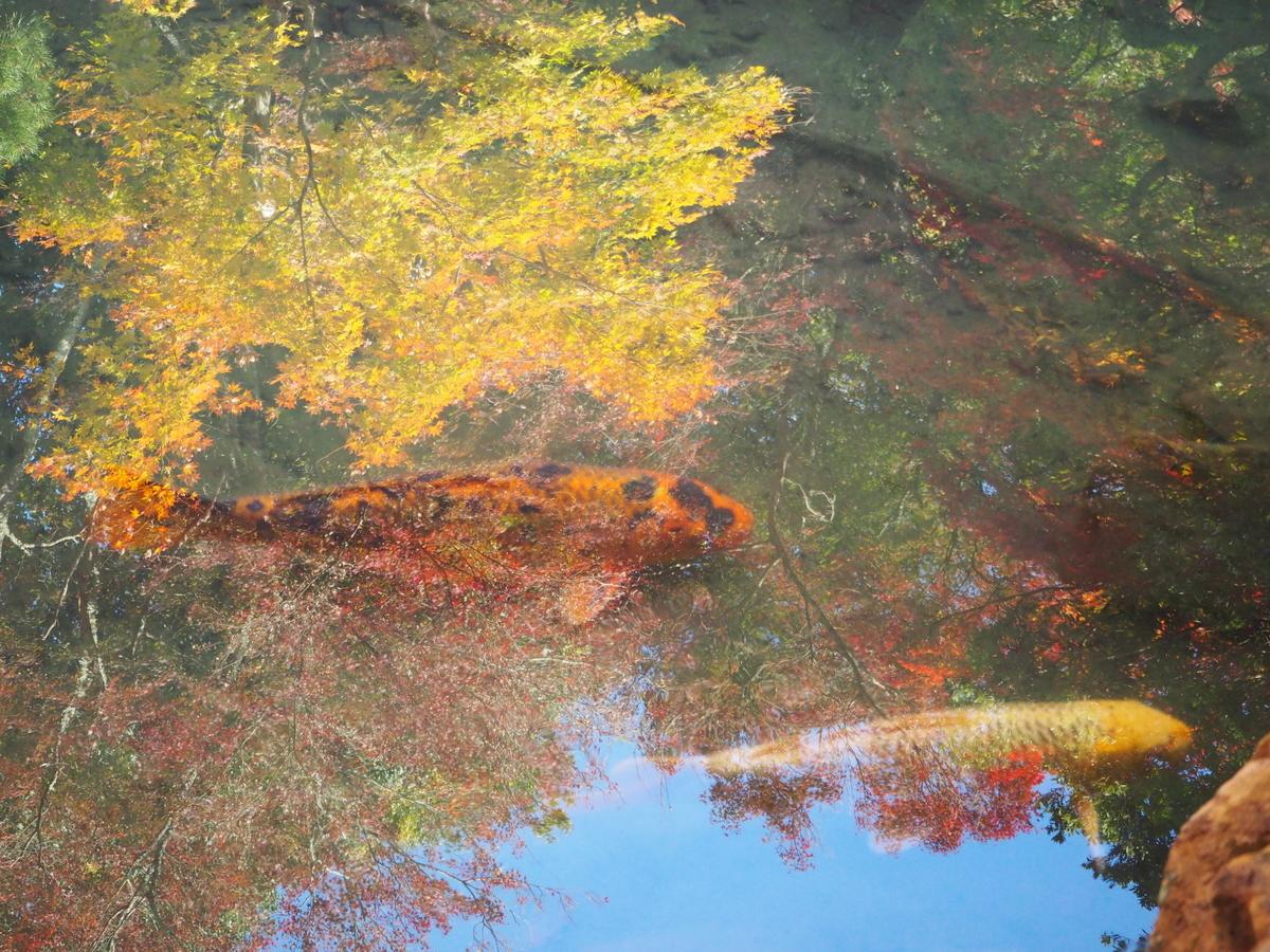 柳谷観音楊谷寺の水に映る紅葉 見頃 2017年11月17日 撮影:MKタクシー