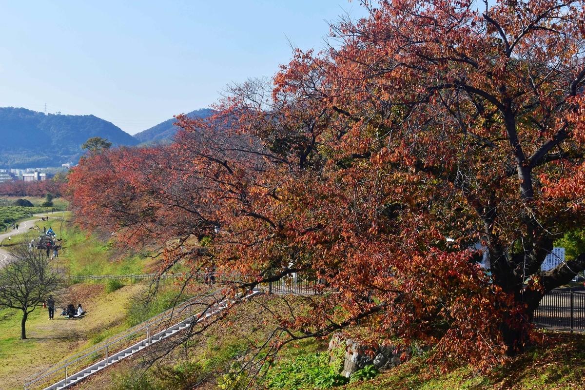背割堤・ソメイヨシノの紅葉 見頃 2019年11月23日 撮影:MKタクシー