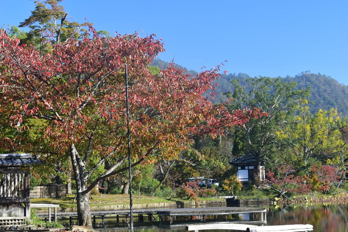 大沢池・ソメイヨシノの紅葉 色づきはじめ 2018年10月28日 撮影:MKタクシー