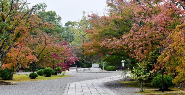 広隆寺の桜紅葉 見頃 2018年11月4日 撮影:MKタクシー