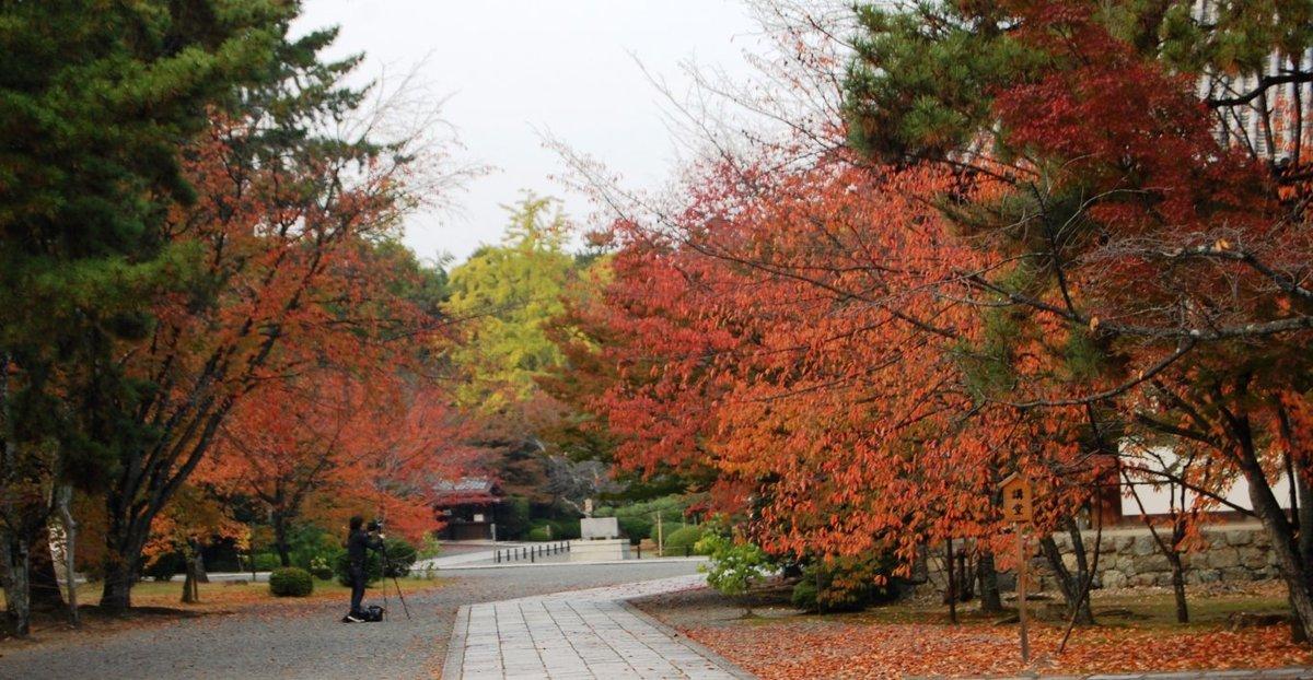 広隆寺の桜紅葉 見頃 11月15日 撮影:MKタクシー