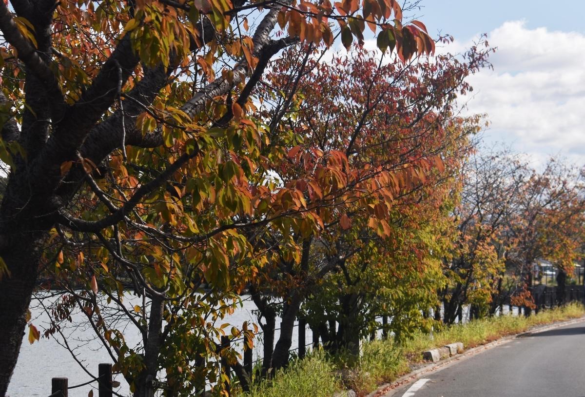広沢池・一条通の桜紅葉 色づきはじめ 2019年11月4日 撮影:MKタクシー