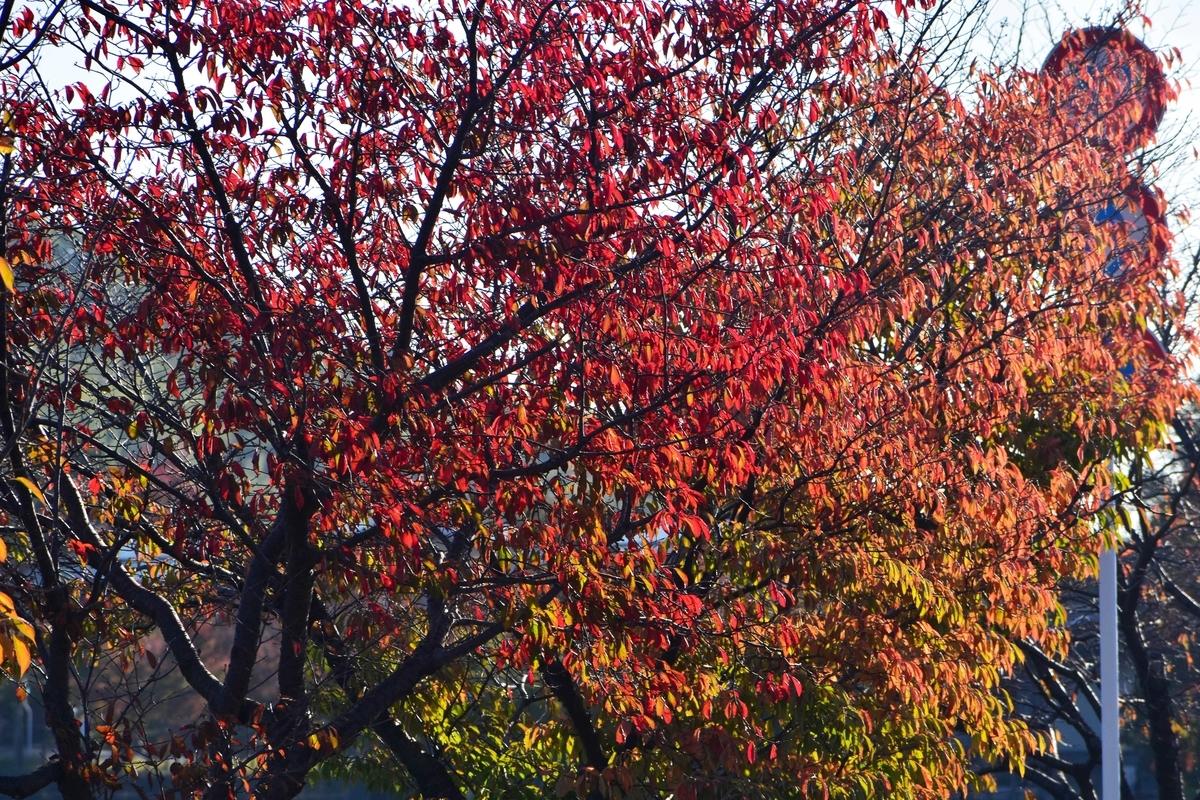 広沢池・一条通の桜紅葉 見頃 2019年11月13日 撮影:MKタクシー