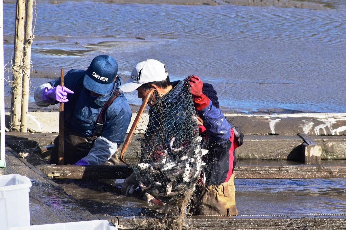 広沢池の鯉上げ 2018年12月8日 撮影:MKタクシー