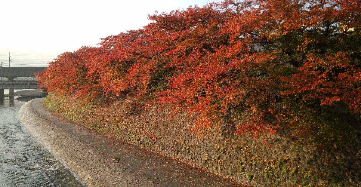 塩小路橋・ソメイヨシノの桜紅葉 見頃 2013年11月17日 撮影:MKタクシー