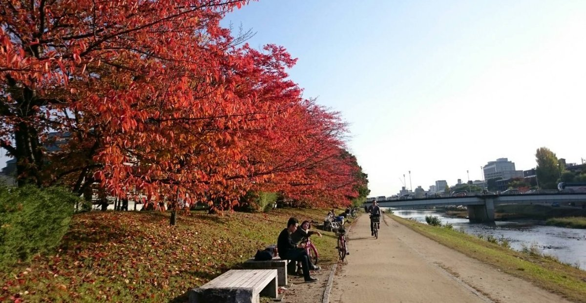 丸太町橋・ソメイヨシノの桜紅葉 見頃 2016年11月12日 撮影:MKタクシー