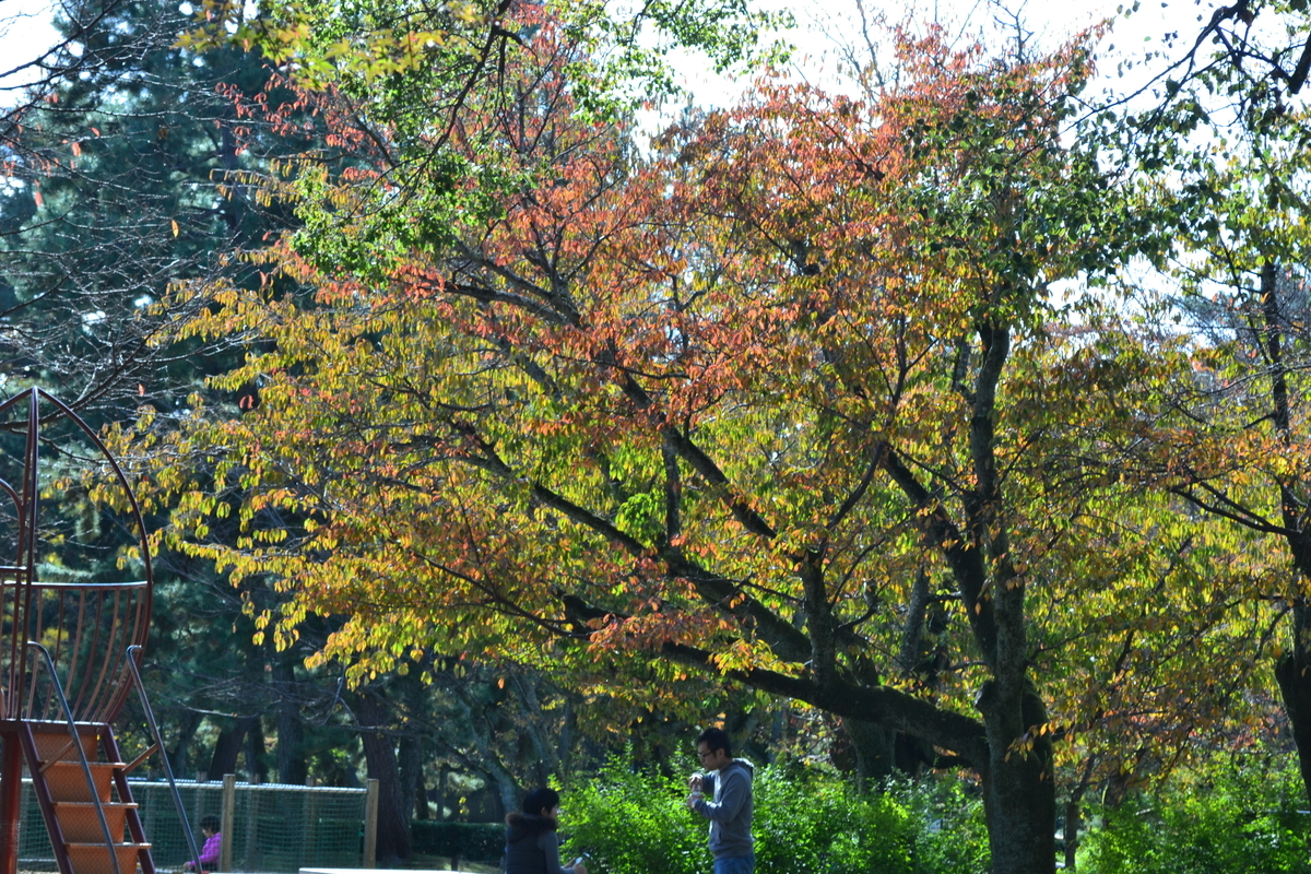 京都御苑・児童公園の桜紅葉 色づきはじめ 2017年11月11日 撮影:MKタクシー