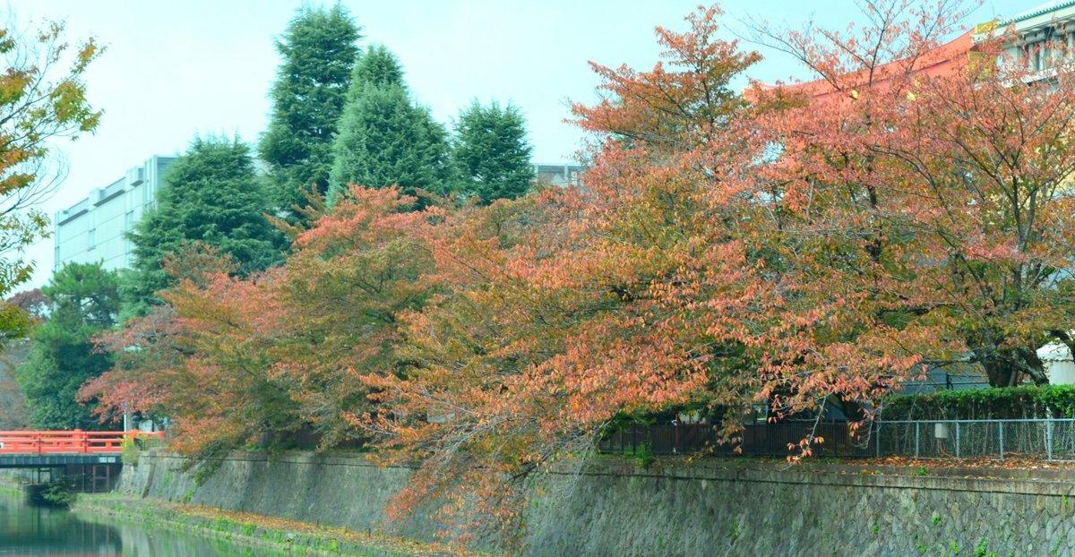 岡崎疎水・広道橋の桜紅葉 見頃近し 2017年11月4日 撮影:MKタクシー