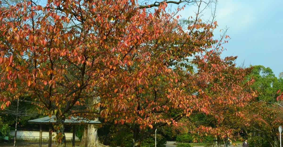 円山公園の桜紅葉 見頃 2017年11月4日 撮影:MKタクシー