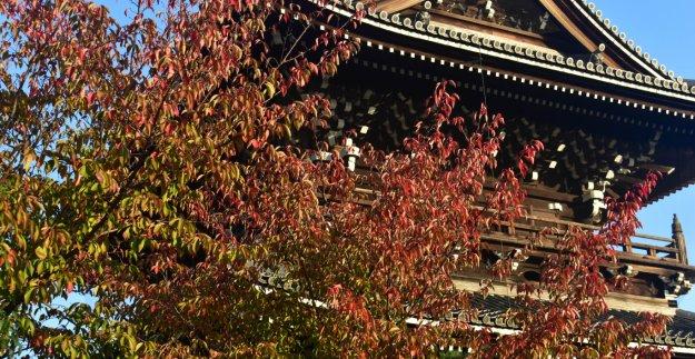 金戒光明寺・山門の桜紅葉 見頃近し 2019年10月26日 撮影:MKタクシー