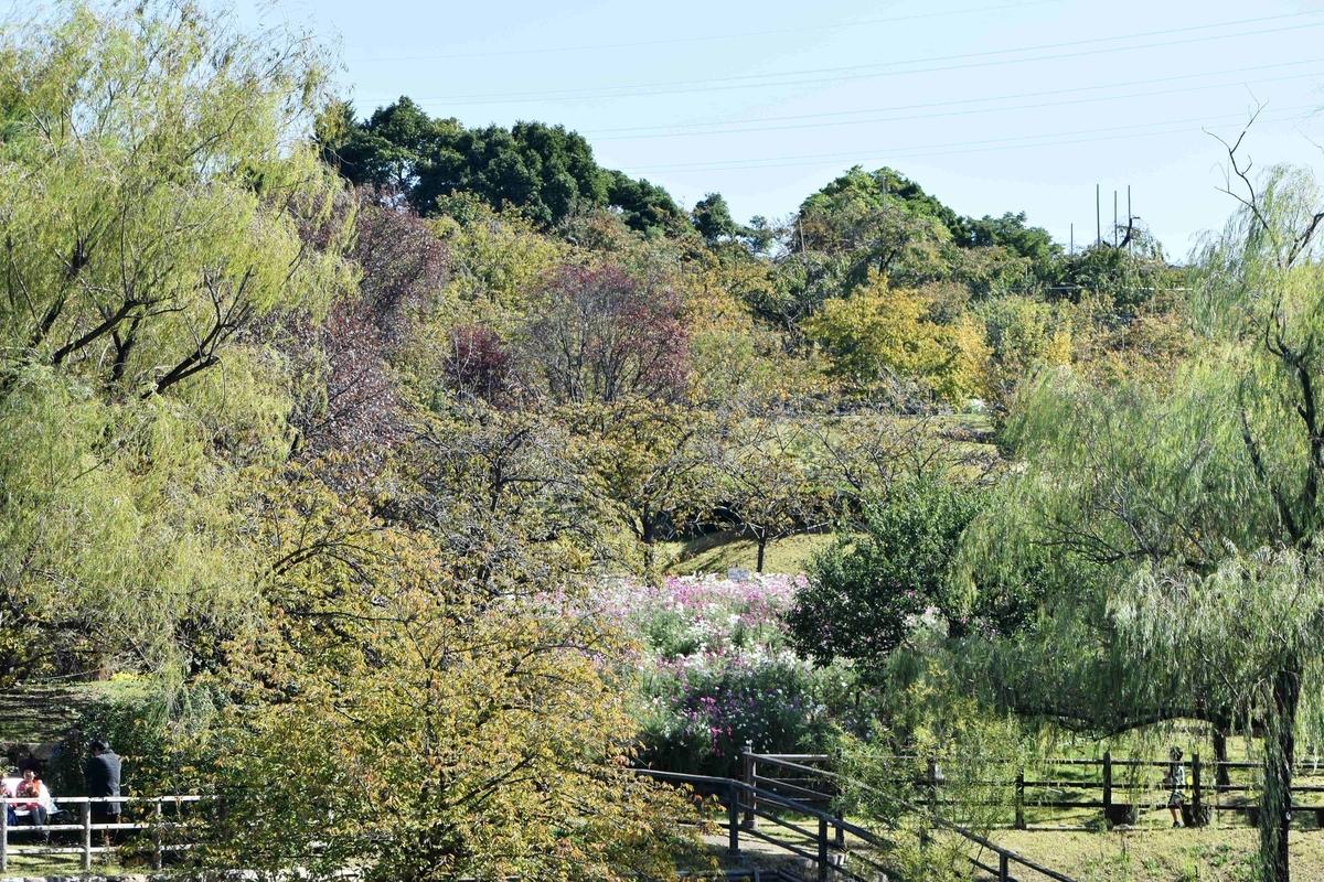 宇治市植物公園・サトザクラの桜紅葉 色づきはじめ 2020年10月25日 撮影:MKタクシー