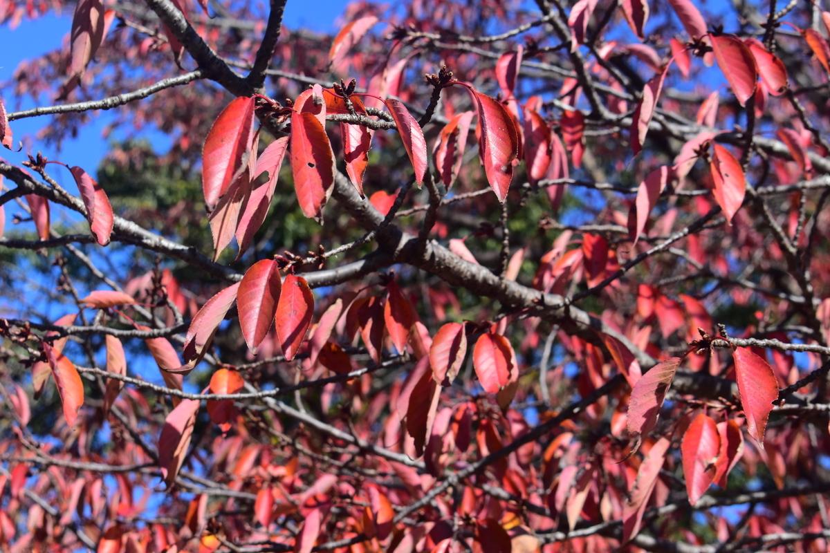 京都府立植物園・ソメイヨシノの桜紅葉 見頃 2019年11月13日 撮影:MKタクシー