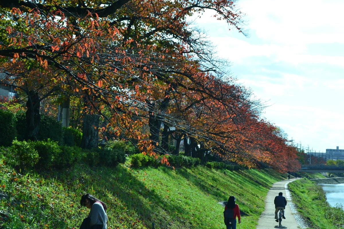 高野川・ソメイヨシノの桜紅葉 見頃 2017年11月11日 撮影:MKタクシー