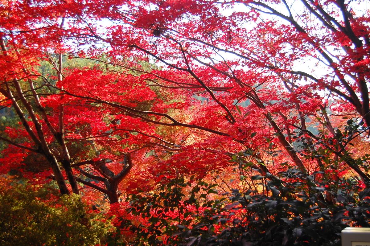 三室戸寺・本堂前の紅葉 見頃 2007年11月24日 撮影:MKタクシー