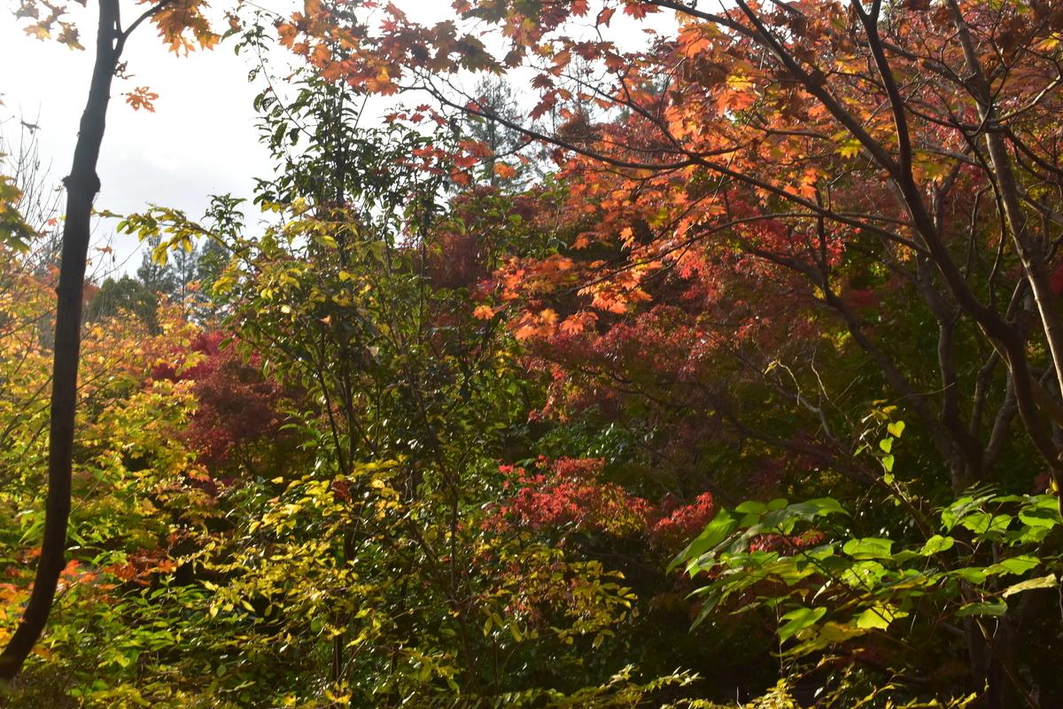 宇治市植物公園・秋のゾーンの紅葉 見頃近し 2019年11月17日 撮影:MKタクシー