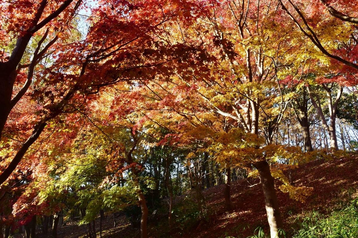 宇治市植物公園・秋のゾーンの紅葉 見頃 2018年11月24日 撮影:MKタクシー