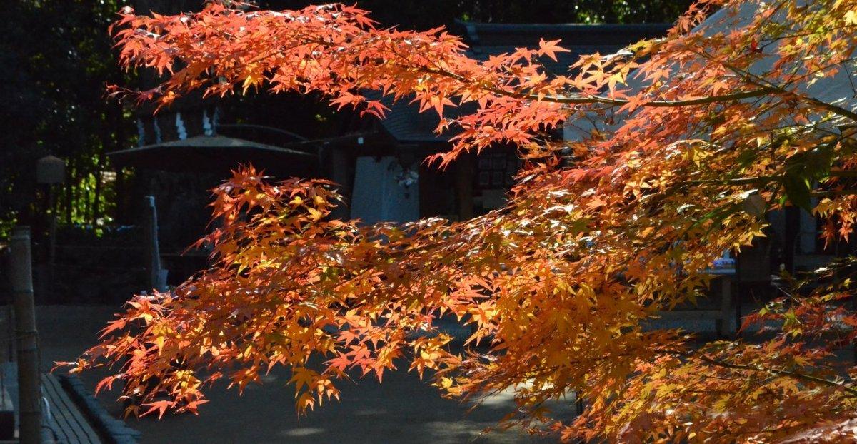 宇治上神社境内の紅葉 見頃 2017年12月2日 撮影:MKタクシー