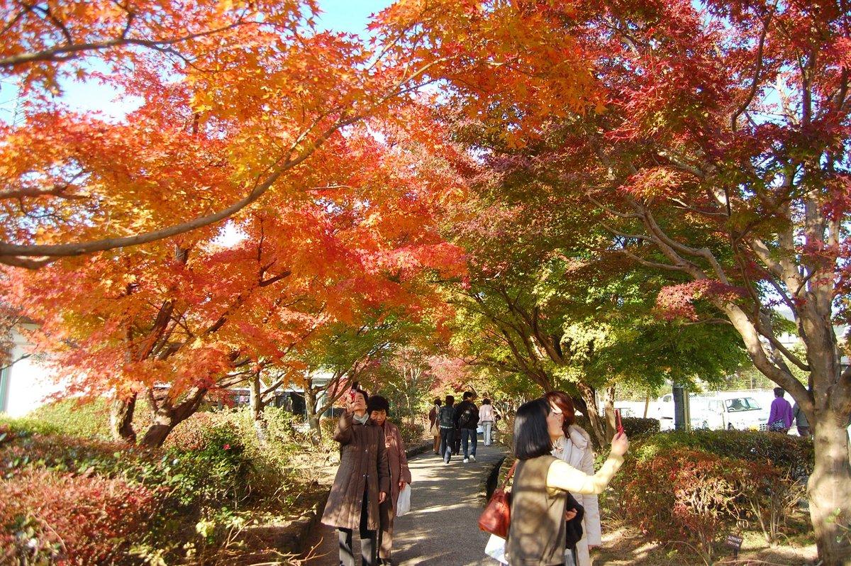 源氏物語ミュージアムの紅葉 見頃近し 2007年11月24日 撮影:MKタクシー