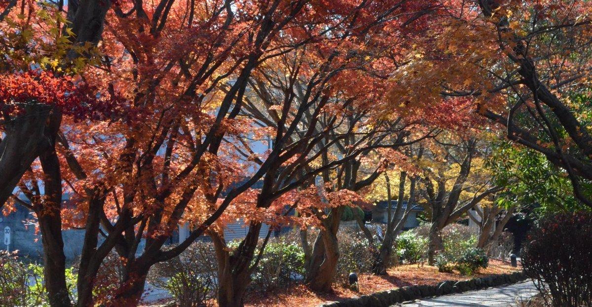 源氏物語ミュージアムの紅葉 見頃 2017年12月2日 撮影:MKタクシー