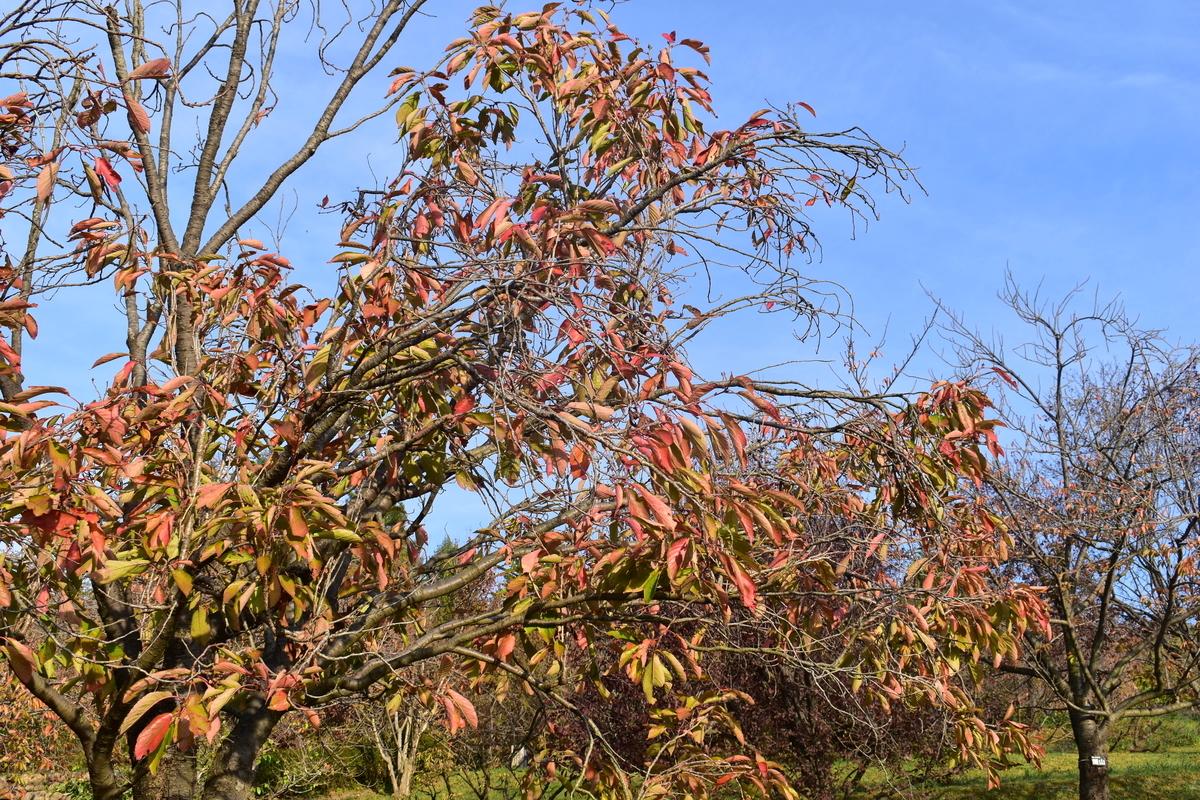 宇治市植物公園・サトザクラの桜紅葉 見頃 2018年11月11日 撮影:MKタクシー