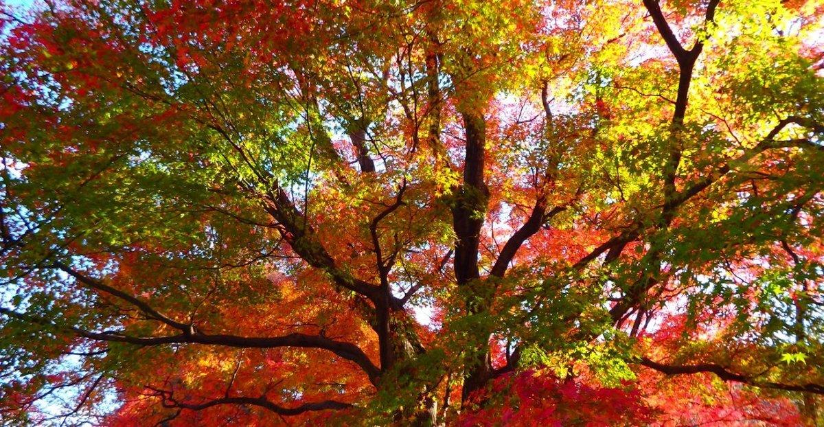石清水八幡宮・展望台の紅葉 見頃 2016年11月26日 撮影:MKタクシー