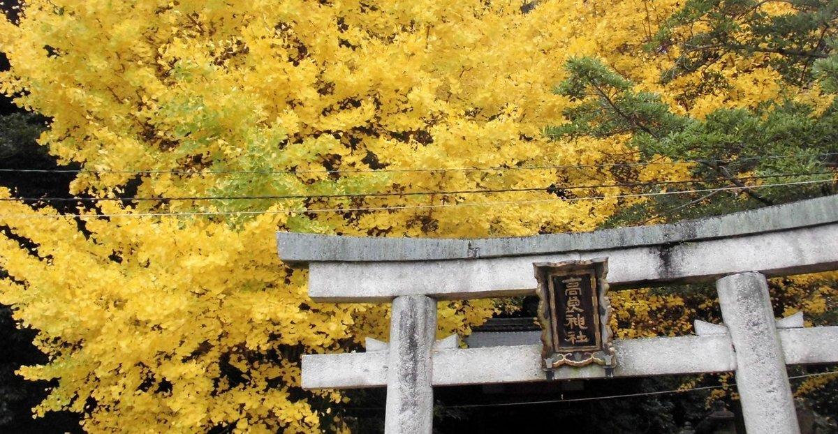 高良神社のイチョウ 見頃 2017年11月19日 撮影:MKタクシー