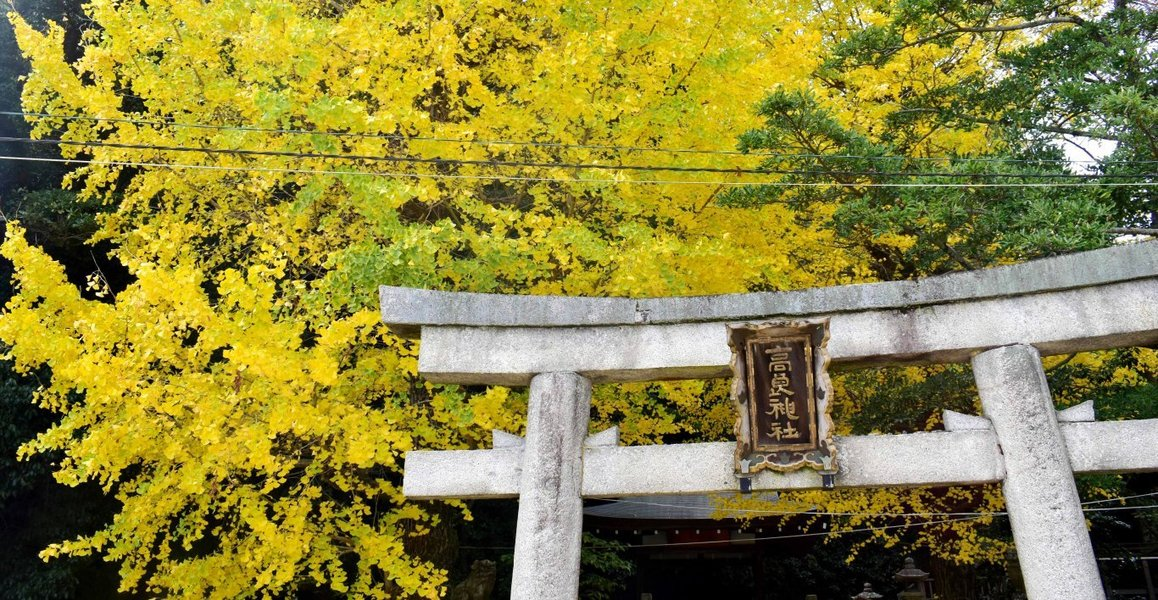 高良神社のイチョウ 見頃 2016年11月24日 撮影:MKタクシー
