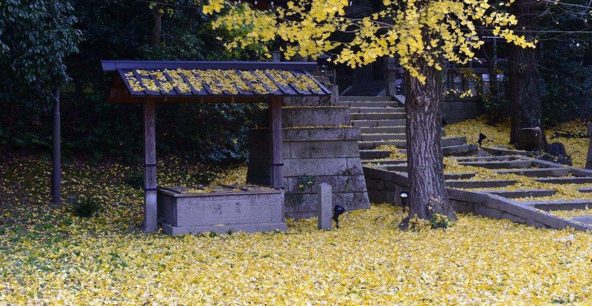 高良神社のイチョウ 散りはじめ 2018年12月1日 撮影:MKタクシー