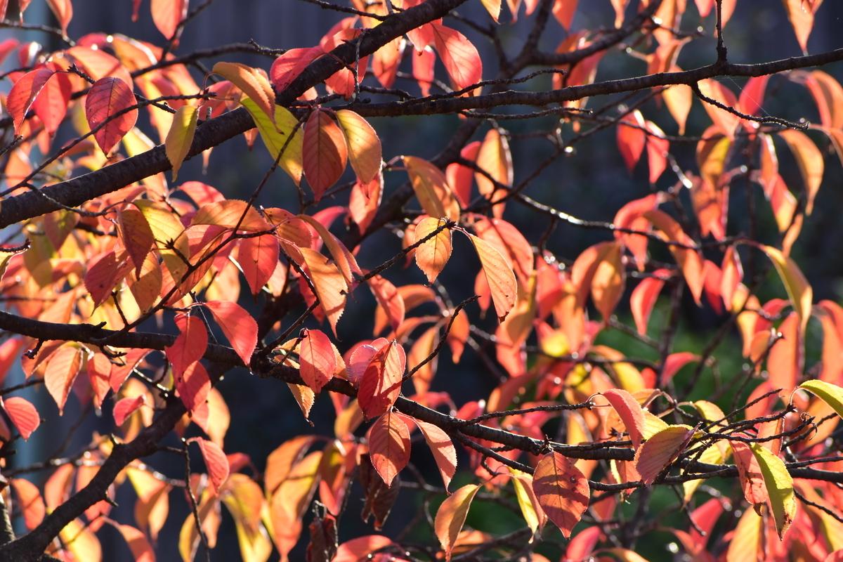 祇園白川・ソメイヨシノの桜紅葉 見頃 2020年11月10日 撮影:MKタクシー