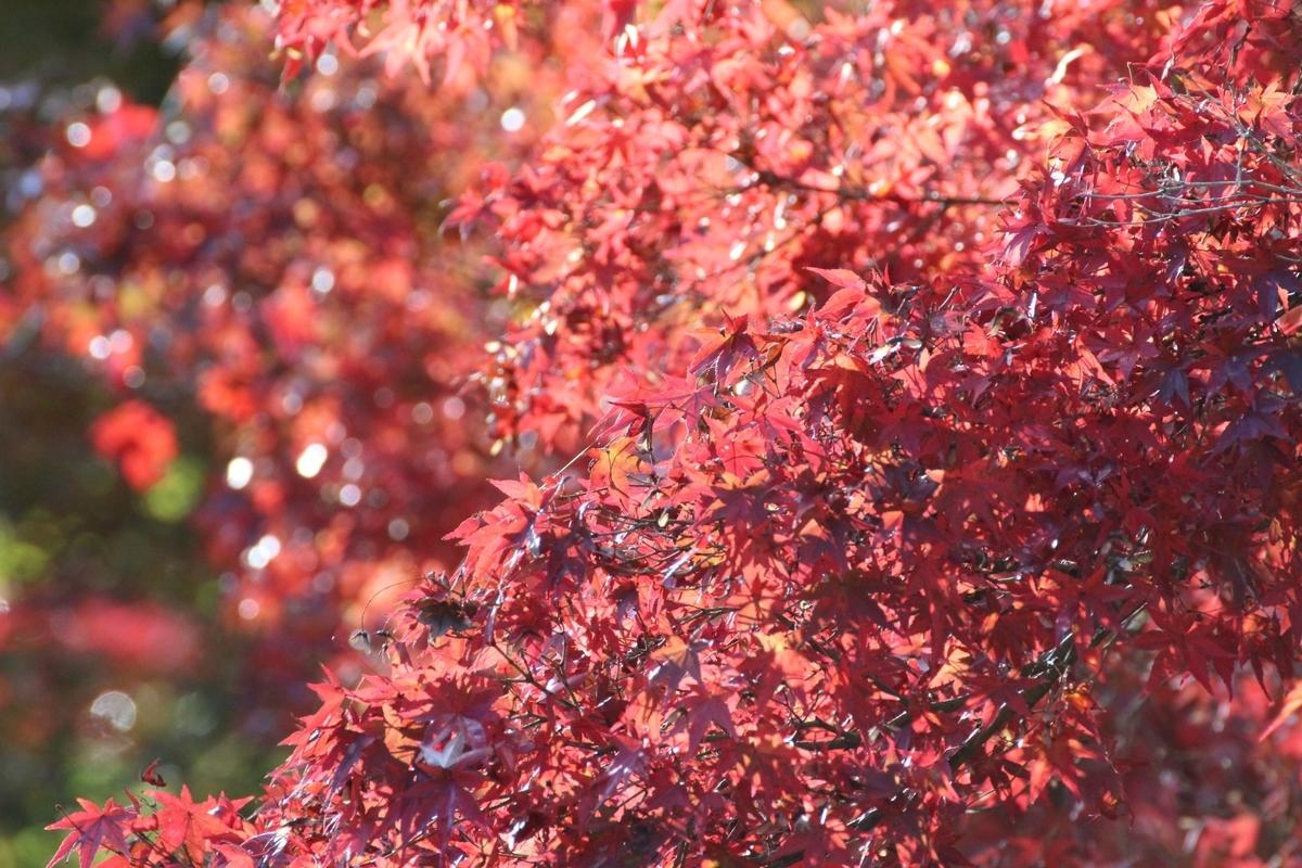 神蔵寺の紅葉 見頃 2020年11月9日 撮影:MKタクシー