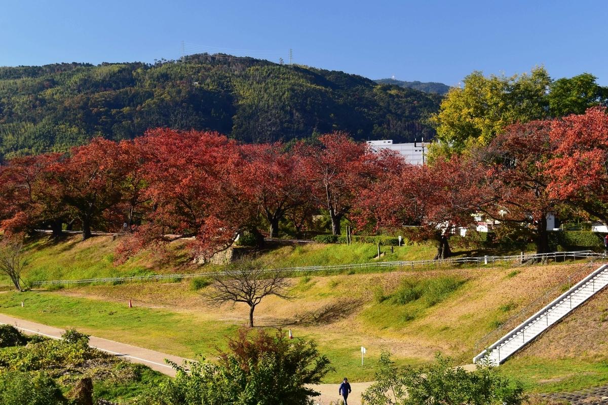 背割堤・ソメイヨシノの桜紅葉 見頃 2019年11月23日 撮影:MKタクシー