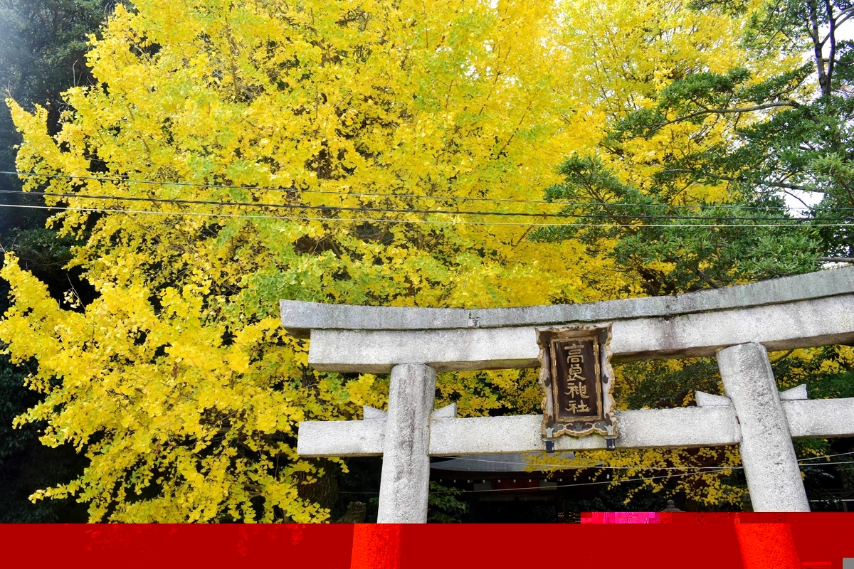 高良神社のイチョウ 見頃 2018年11月24日 撮影:MKタクシー
