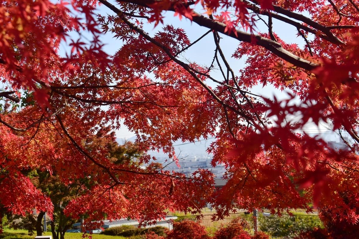 西山公園の紅葉 見頃 2019年11月23日 撮影:MKタクシー