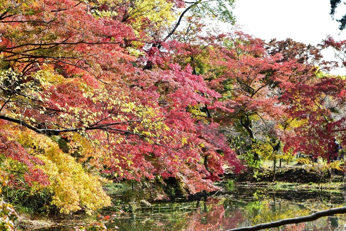 京都府立植物園・半木の森の紅葉 見頃 2020年11月12日 撮影:MKタクシー