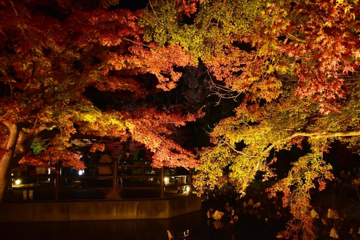 京都府立植物園・半木の森の紅葉ライトアップ 見頃 2019年11月20日 撮影:MKタクシー