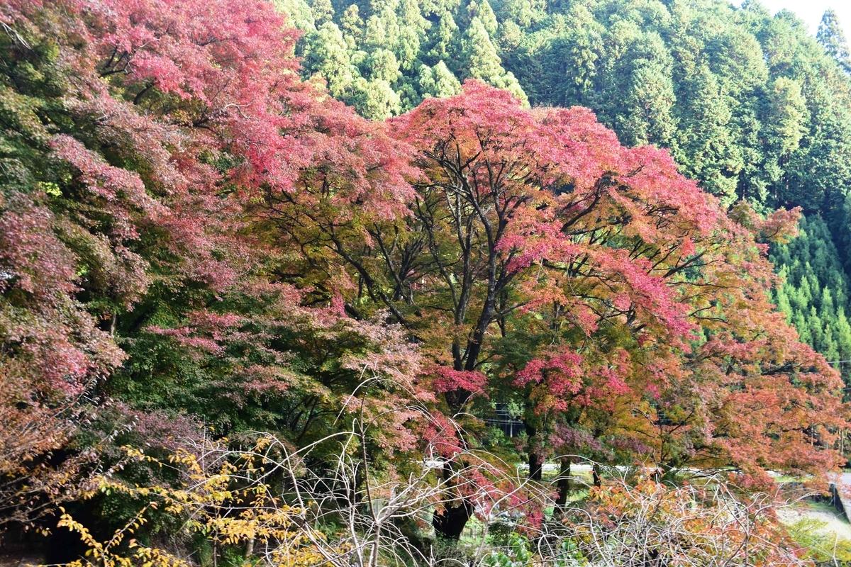 龍澤寺の紅葉 見頃 2020年11月15日 撮影:MKタクシー