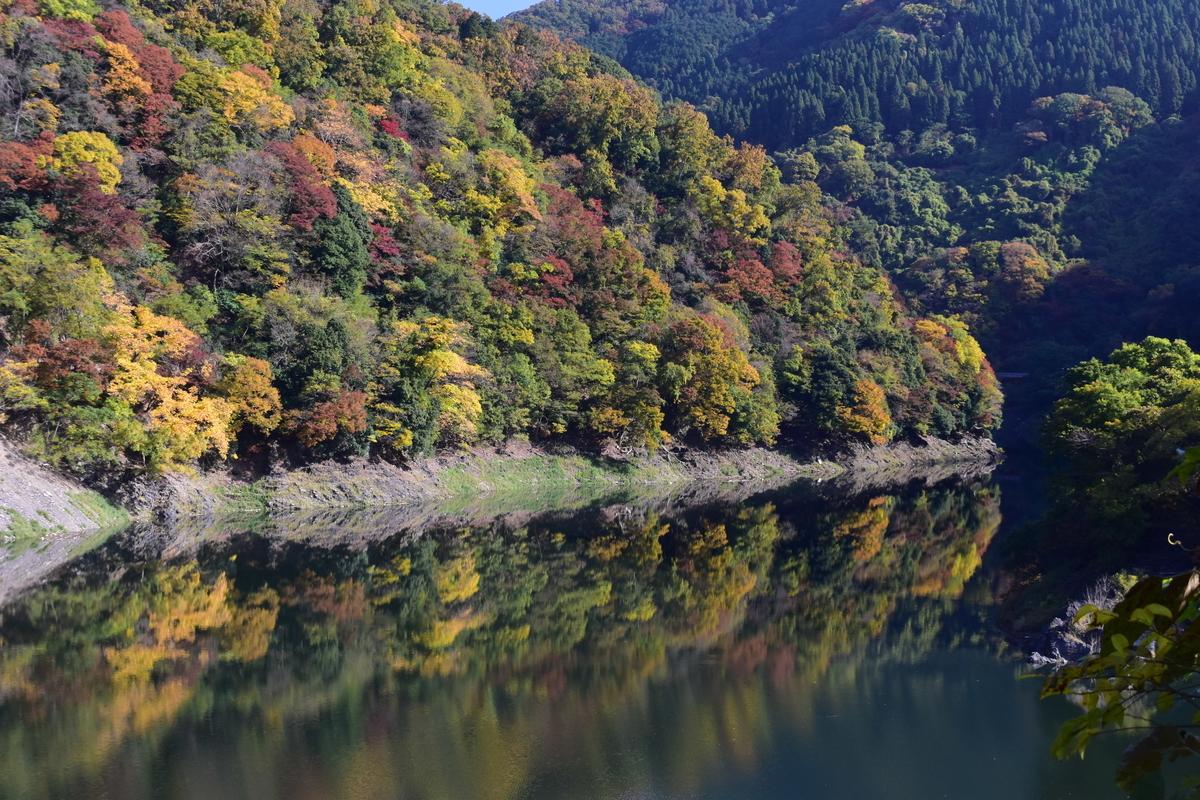 天ヶ瀬ダム湖・鳳凰湖の紅葉 見頃近し 2020年11月14日 撮影:MKタクシー