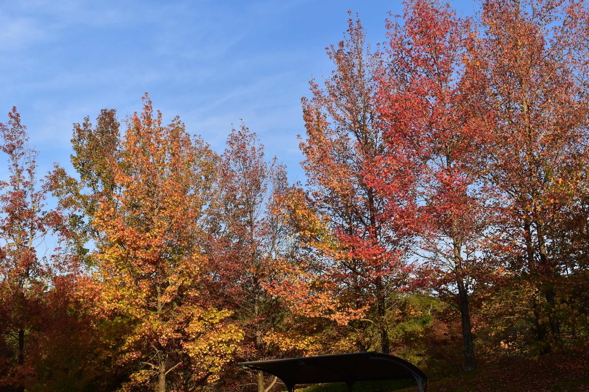 太陽が丘公園・フウの紅葉 見頃 2018年11月11日 撮影:MKタクシー