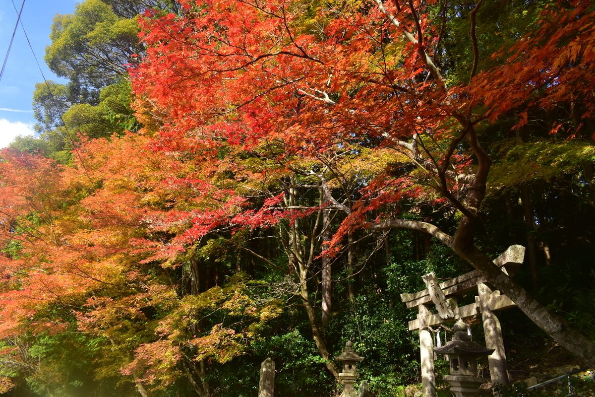 大道神社の紅葉 見頃 2019年11月17日 撮影:MKタクシー