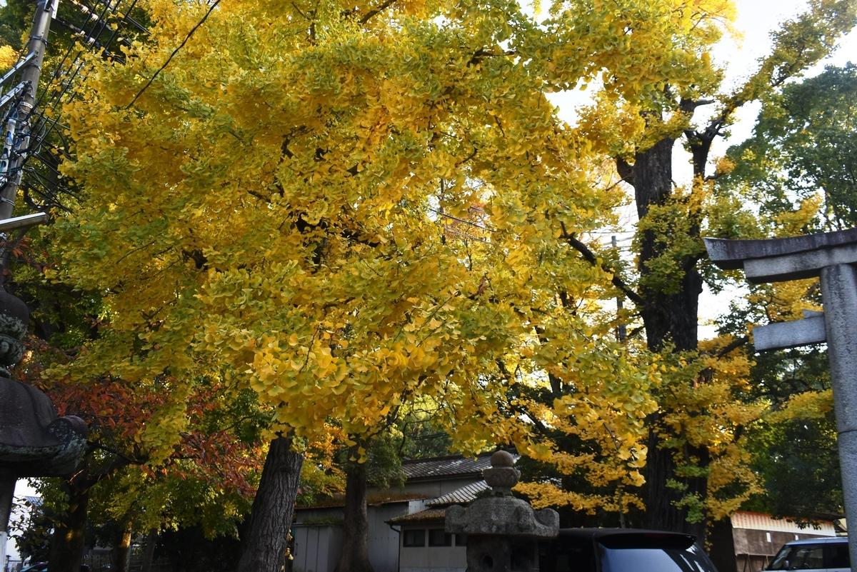 藤森神社のイチョウ 見頃 2020年11月17日 撮影:MKタクシー