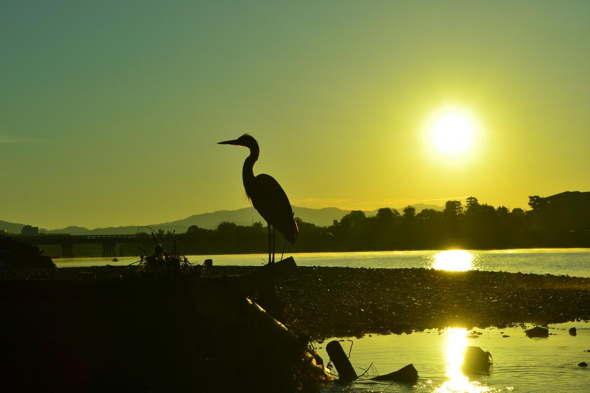 朝日を浴びる大堰川のアオサギ 2017年11月1日 撮影:MKタクシー