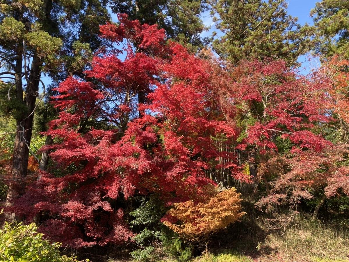 鍬山神社の紅葉 見頃 2020年11月18日 撮影:MKタクシー