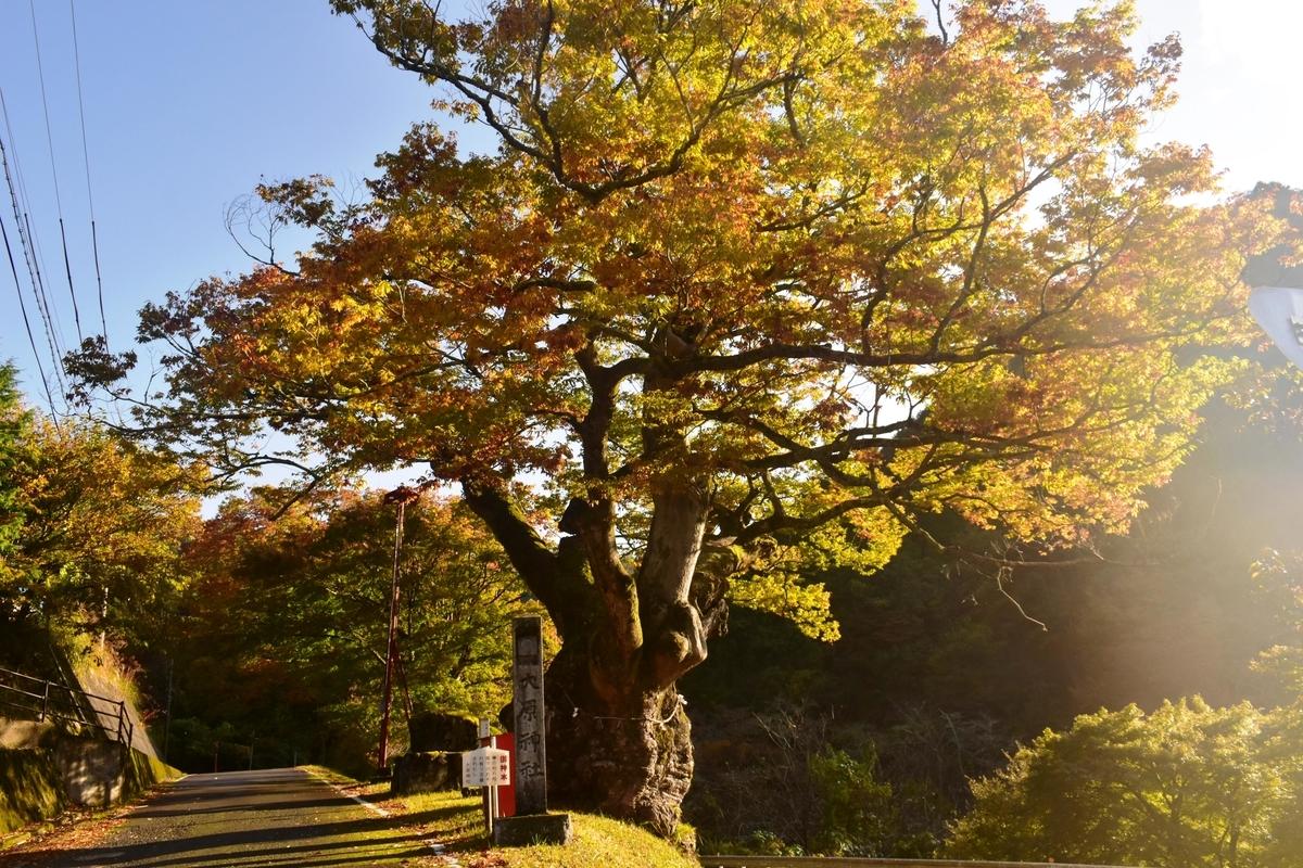 大原神社(美山)・ケヤキの紅葉 見頃 2019年11月10日 撮影:MKタクシー