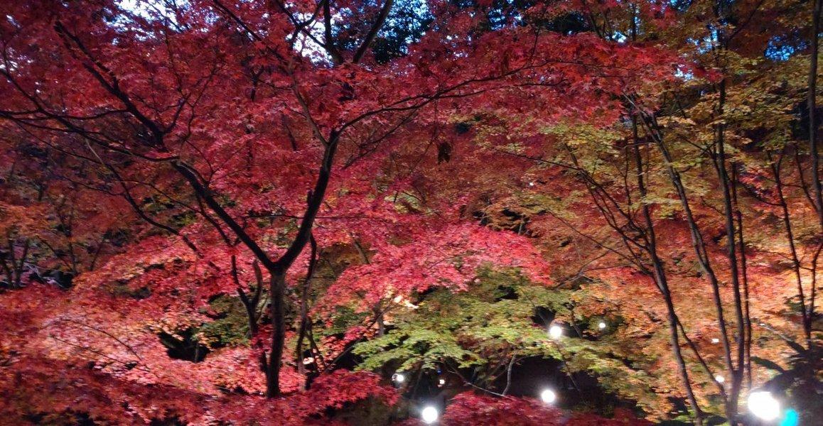 北野天満宮・もみじ苑の紅葉ライトアップ 見頃 2019年11月30日 撮影:MKタクシー