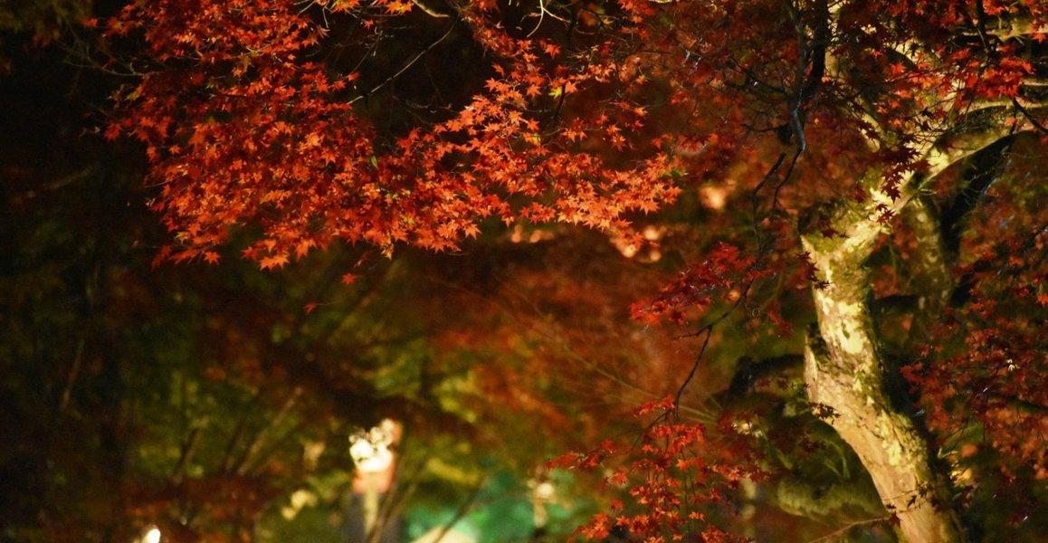 日吉大社の紅葉ライトアップ 2018年11月10日 撮影:MKタクシー