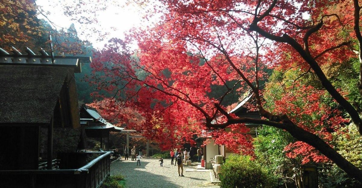日向大神宮の紅葉 散りはじめ 2016年12月4日 撮影:MKタクシー