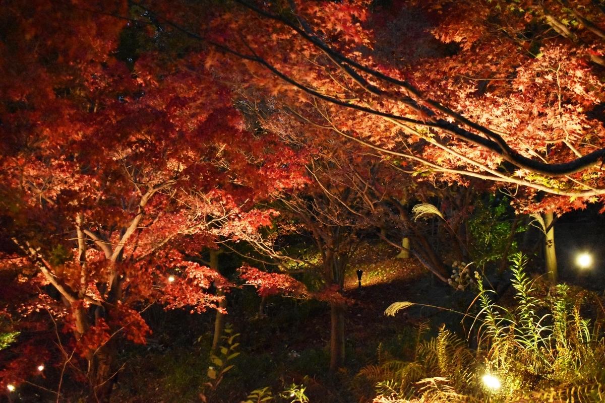 宇治市植物公園の紅葉ライトアップ 見頃 2020年11月22日 撮影:MKタクシー